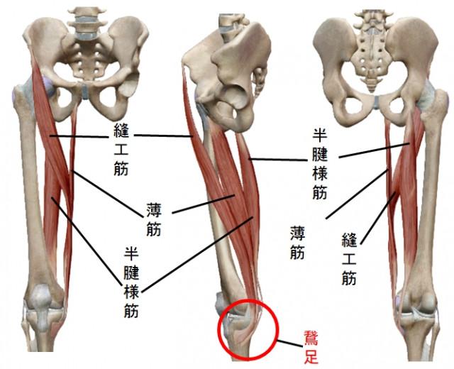 縫工筋、薄筋、半腱様筋の前後左右から