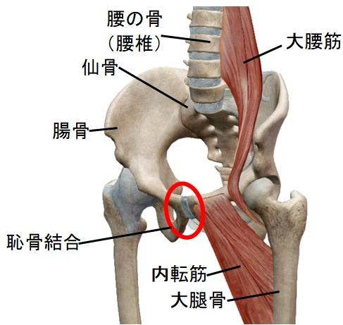 骨盤、腰椎、大腰筋、内転筋