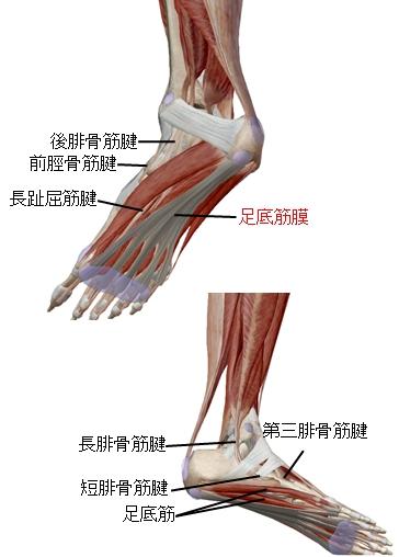 足底につながる脛やふくらはぎの筋肉