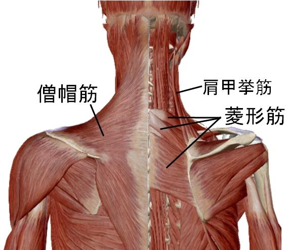 肩甲骨をゆがませる筋肉