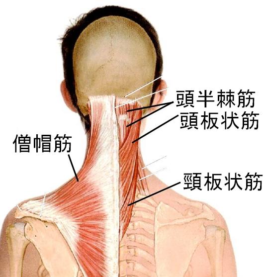 首こりの筋肉 僧帽筋 頭半棘筋 頭板状筋 首板状筋