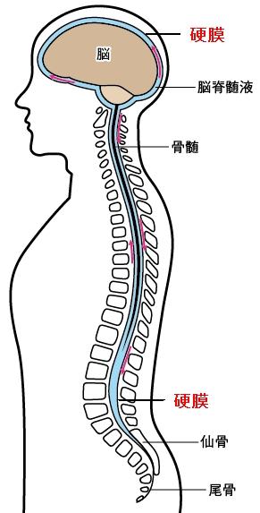 硬膜と脳脊髄液