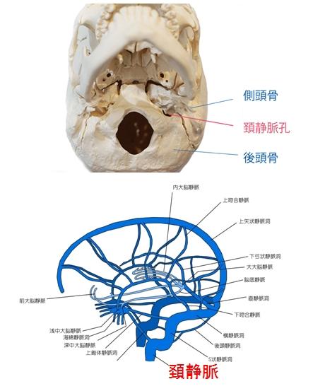 脳内の静脈