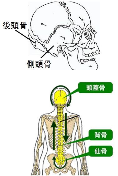 頭蓋骨のうごきと骨盤の関係